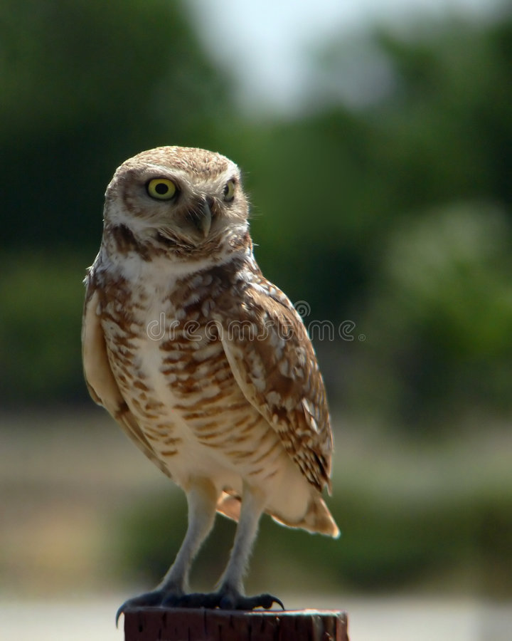 Burrowing Owl. On Fence Post royalty free stock images