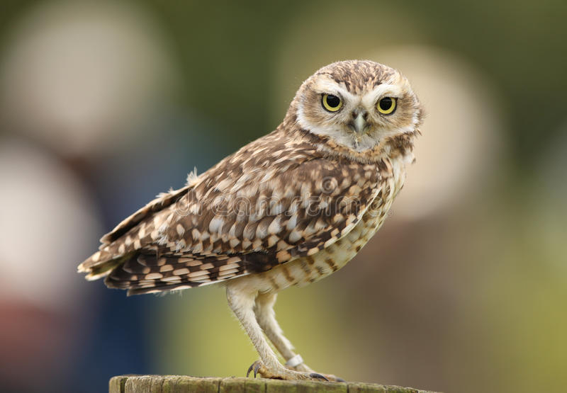 Burrowing Owl. Portrait of a Burrowing Owl landing on a fence stock image