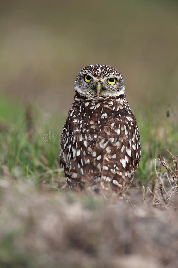 Download Burrowing Owl stock image. Image of coral, blurred, wildlife - 16509905