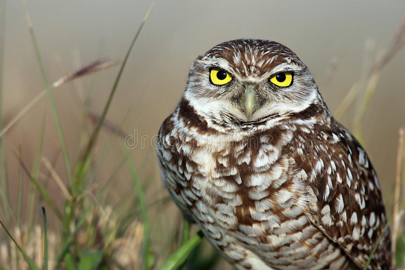 Download Burrowing Owl stock image. Image of background, avian - 16697881
