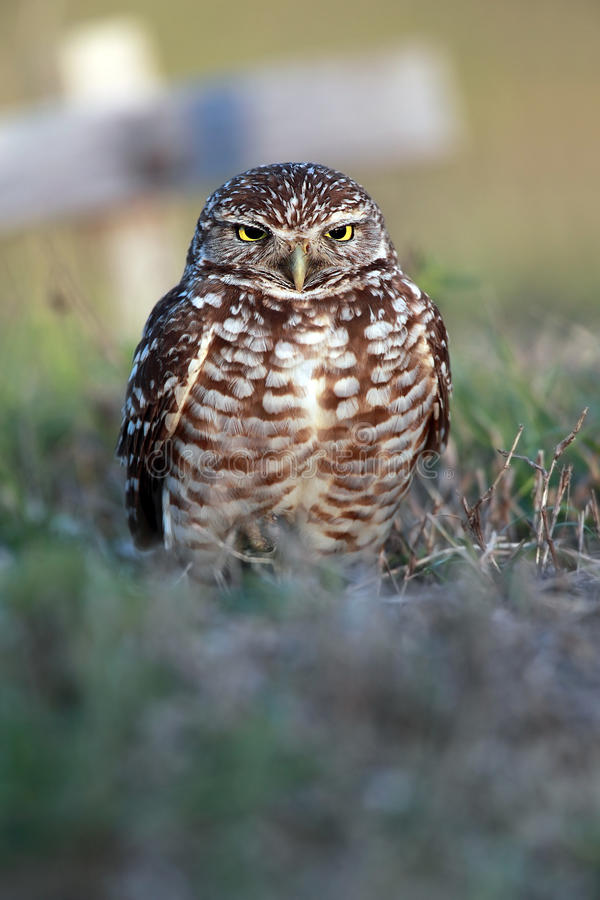 Download Burrowing Owl stock image. Image of prey, predator, avian - 16697945