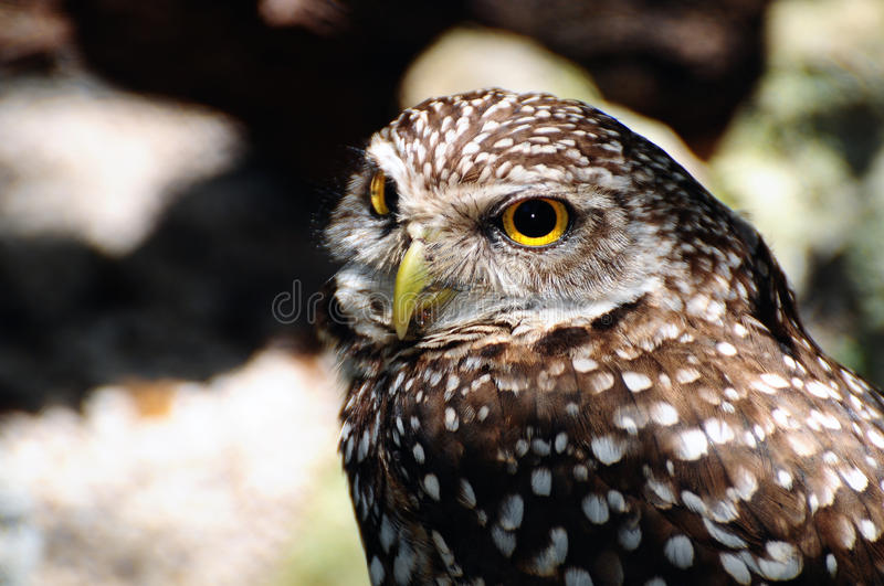 Burrowing Owl. Close up of a Burrowing Owl stock photo