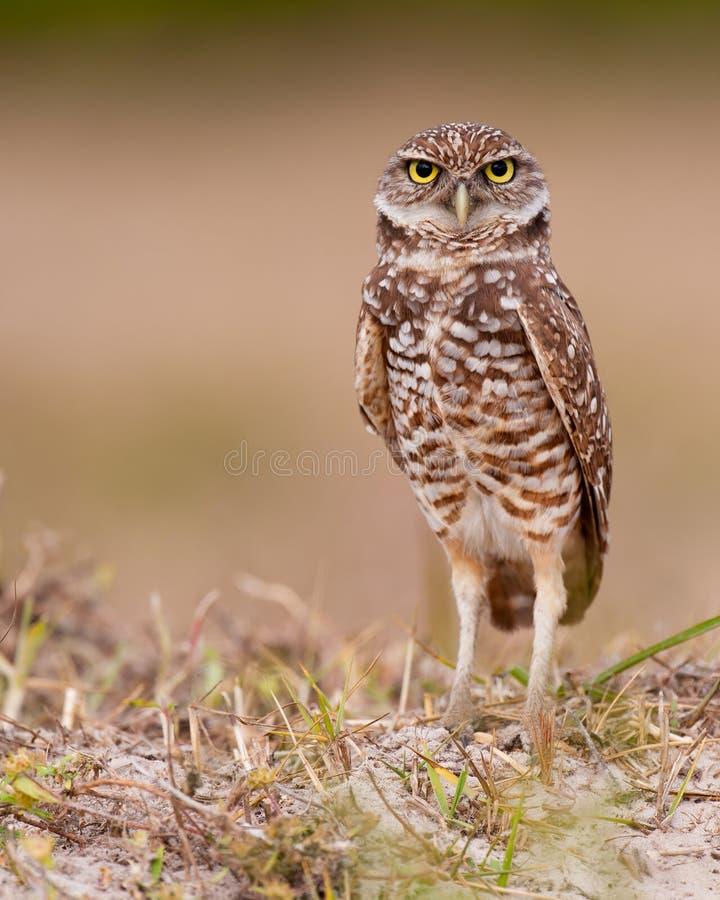 Free Burrowing Owl Stock Image - 23157701