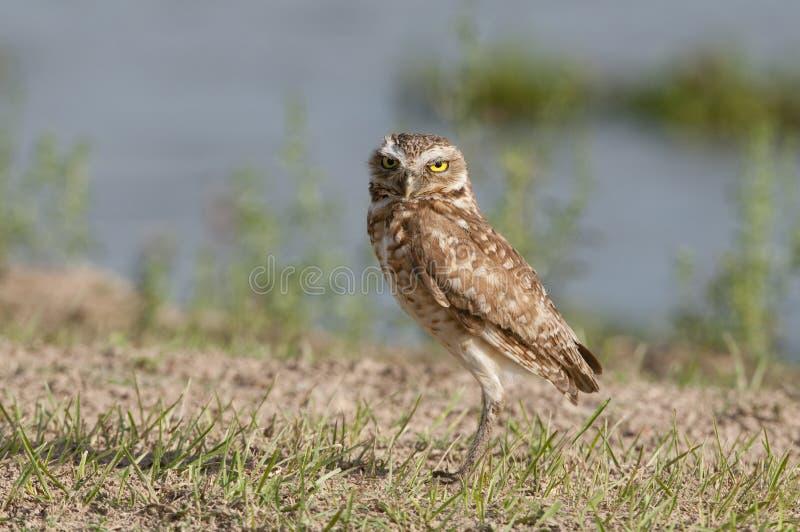 Burrowing owl. (Athene cunicularia) on ground, Los llanos, Venezuela stock image