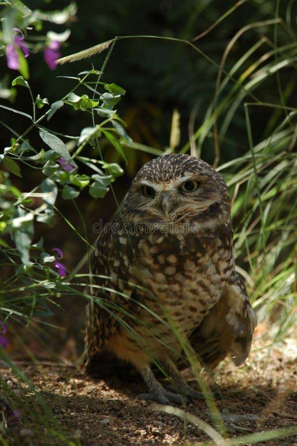 Free Burrowing Owl Royalty Free Stock Photos - 278398