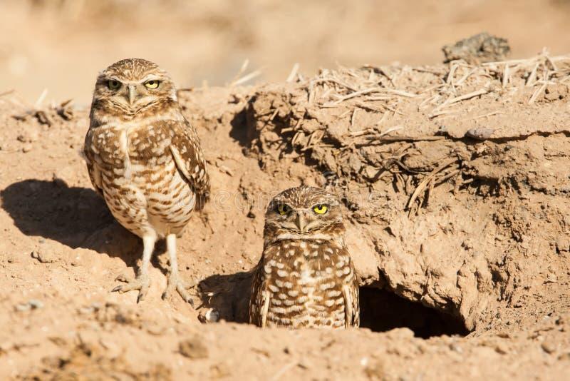 Download Burrowing Owl stock photo. Image of mates, nest, couple - 29681936