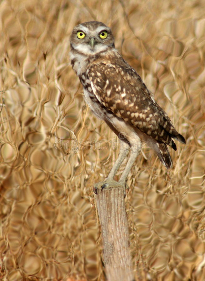 Burrowing Owl stock photo