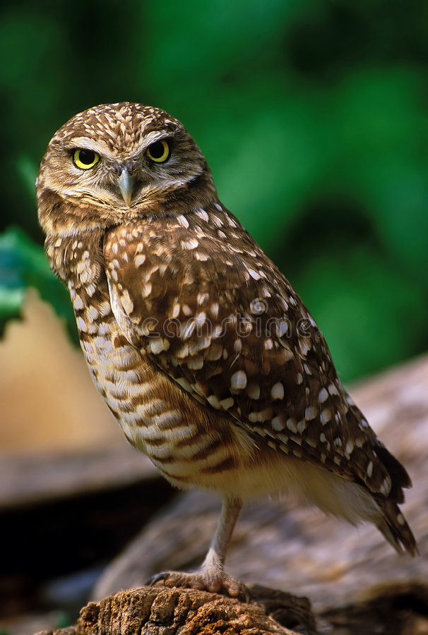Download Burrowing Owl stock photo. Image of pray, wildlife, carnivore - 454646