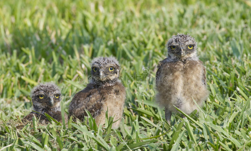 Burrowing Owl, Athene cunicularia. Three baby owls in deep green grass stock image
