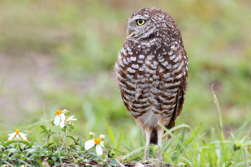 Burrowing Owl (athene cunicularia). By a nest hole in the Florida Everglades royalty free stock photography