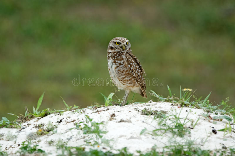 Burrowing Owl (Athene cunicularia). Adult Burrowing Owl outside burrow. Photo taken on March 29, 2014 at Vista View Park, Davie, Florida, United States royalty free stock photo