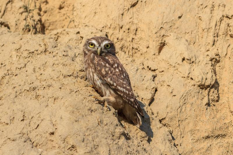 Burrowing owl athene cunicularia. On the nest stock photography