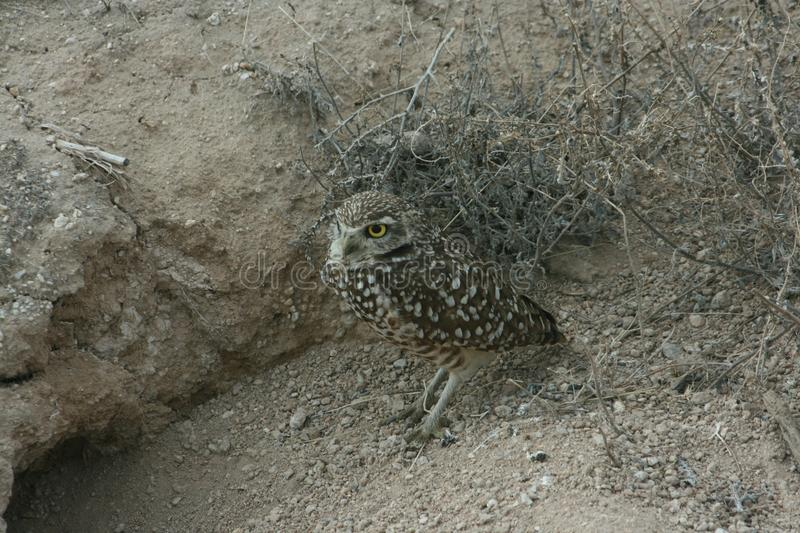 Burrowing owl Athene cunicularia 1. A Burrowing owl Athene cunicularia sitting outside its burrow in Utah. 1 royalty free stock images