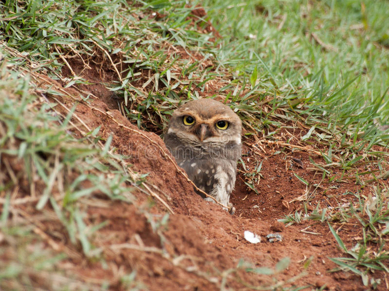 Burrowing owl Athene cunicularia cub. stock photography