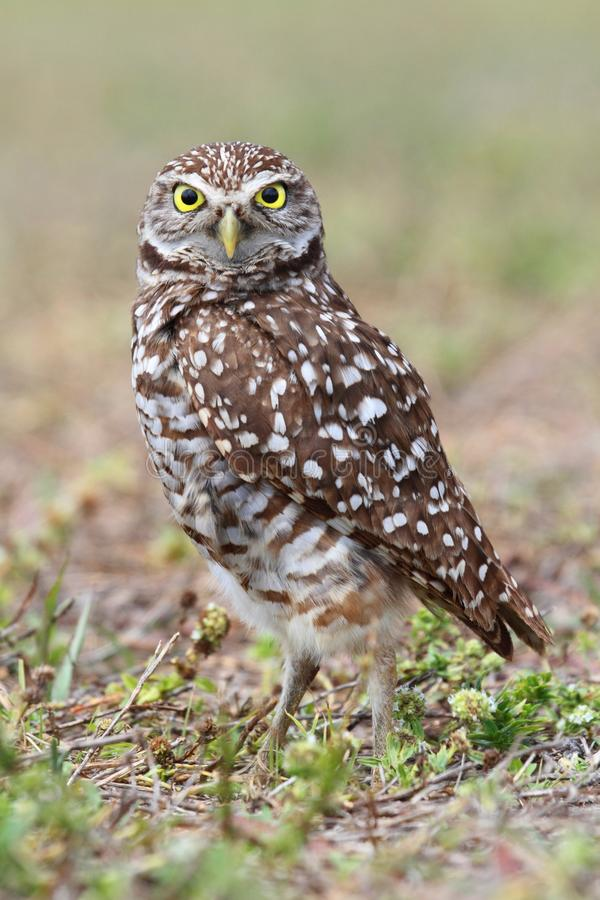 Burrowing Owl (athene cunicularia). By a nest hole in the Florida Everglades royalty free stock photo