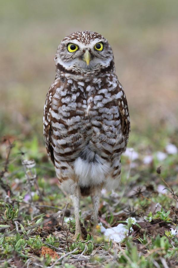 Burrowing Owl (athene cunicularia). By a nest hole in the Florida Everglades stock photo