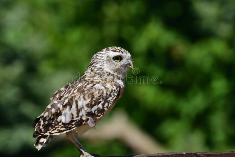 Burrowing owl Athene cunicularia. Portrait of a burrowing owl Athene cunicularia perching on a fence stock photo