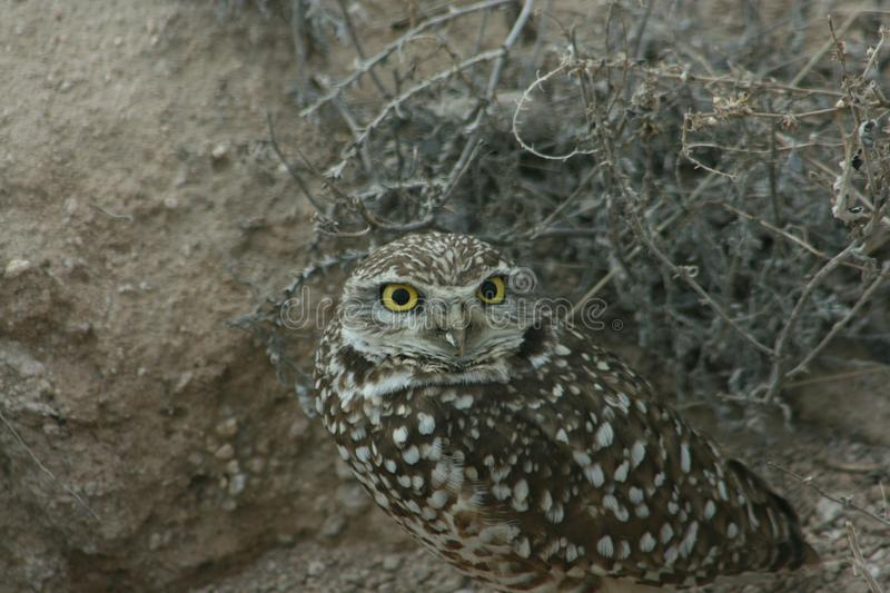 Burrowing owl Athene cunicularia 7. A Burrowing owl Athene cunicularia sitting outside its burrow in Utah. 7 royalty free stock images