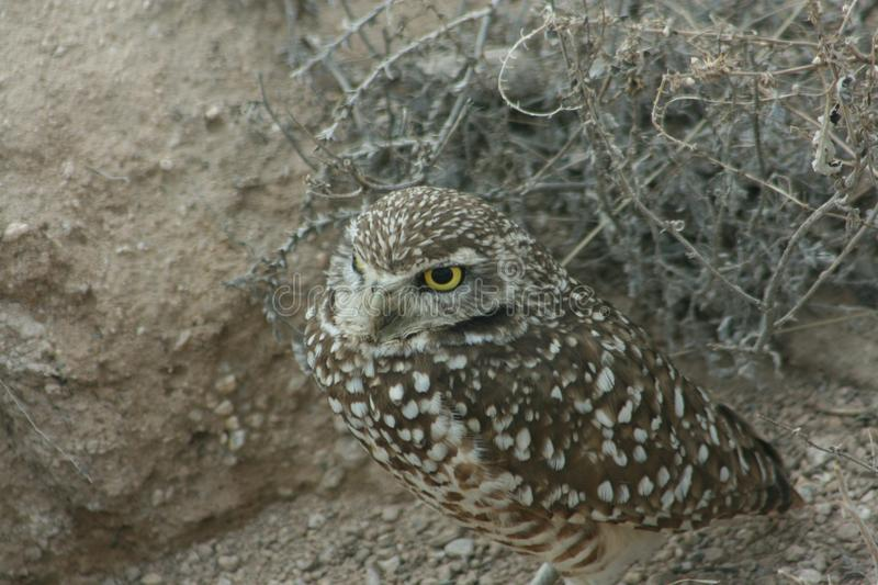 Burrowing owl Athene cunicularia 11. A Burrowing owl Athene cunicularia sitting outside its burrow in Utah. 11 royalty free stock photography