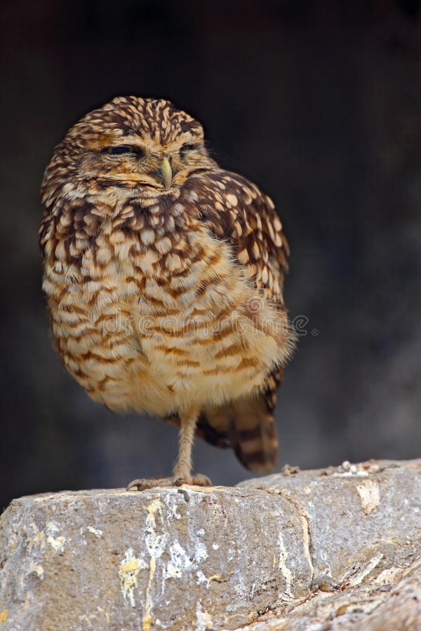 Burrowing Owl, Athene cunicularia, sitting in stone wall, little bird in the nature habitat, Florida, USA stock photography