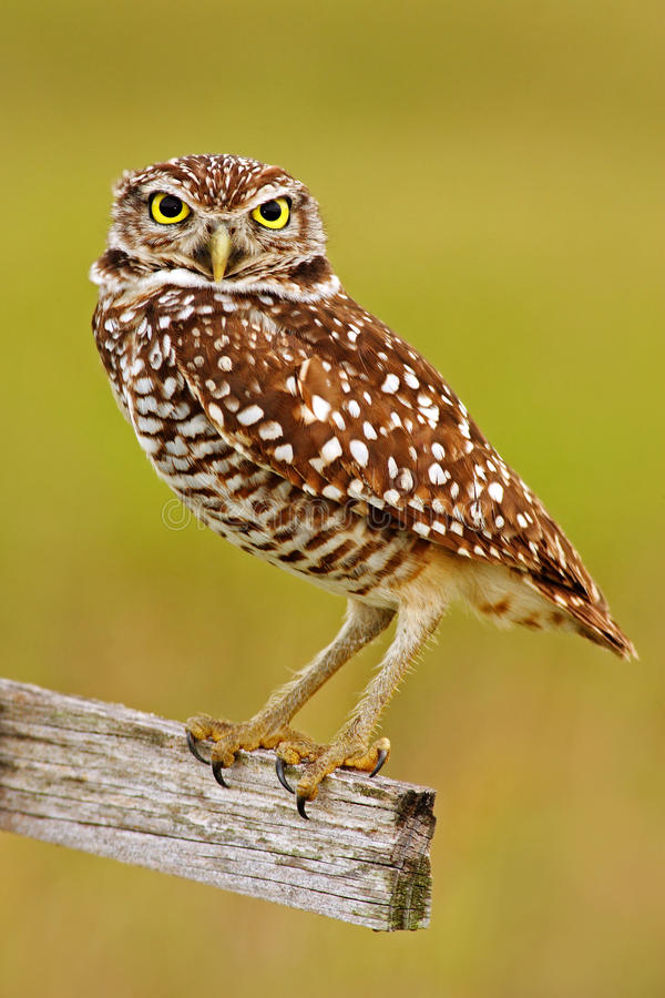 Burrowing Owl, Athene cunicularia, sitting in wooden cross in Cape Coral, Florida, USA. Beautiful owl with nice yellow eyes. stock image