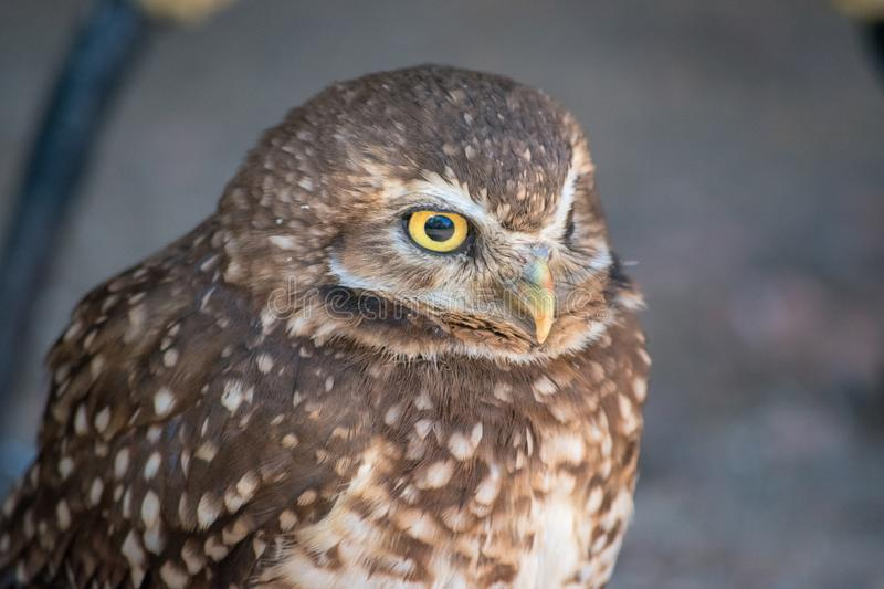 Burrowing Owl (Athene cunicularia) is a small, long legged owl f. Ound throughout North and South America royalty free stock photography