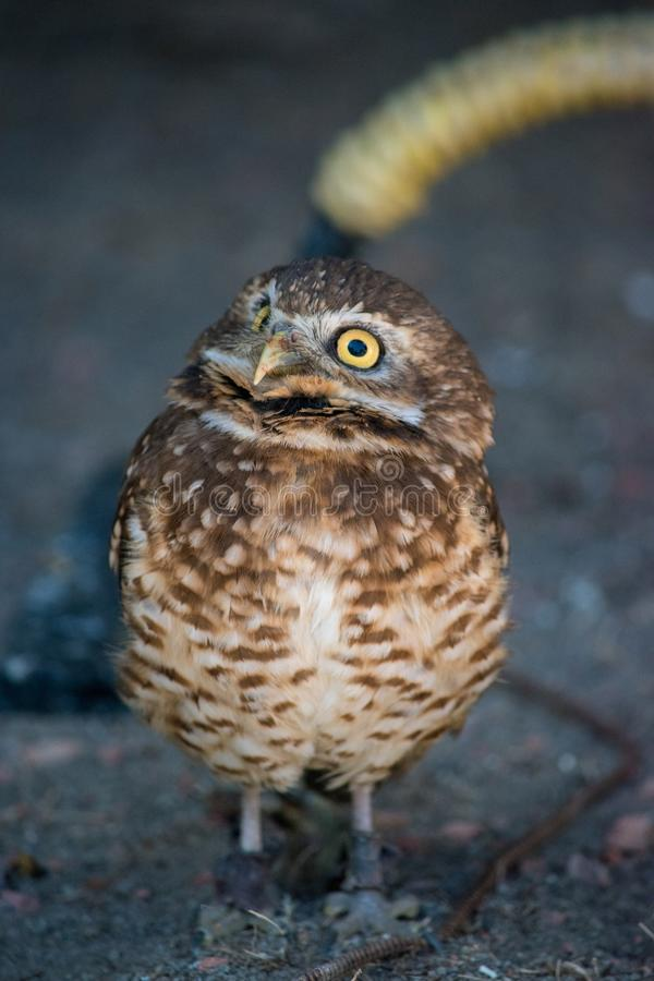 Burrowing Owl (Athene cunicularia) is a small, long legged owl f. Ound throughout North and South America stock images
