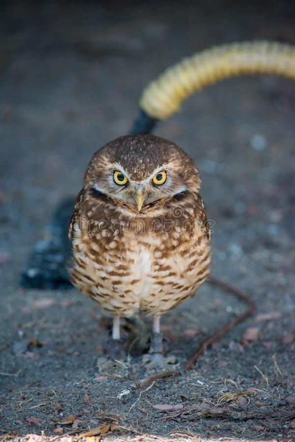 Burrowing Owl (Athene cunicularia) is a small, long legged owl f. Ound throughout North and South America royalty free stock image