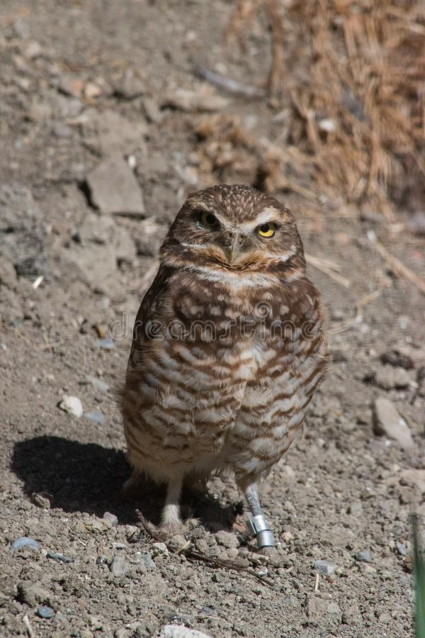 Burrowing Owl (Athene cunicularia) is a small, long legged owl f. Ound throughout North and South America stock photo