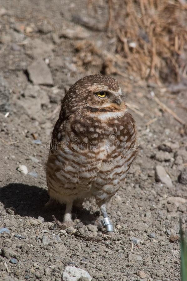 Burrowing Owl & x28;Athene cunicularia& x29; is a small, long legged owl f. Ound throughout North and South America stock image