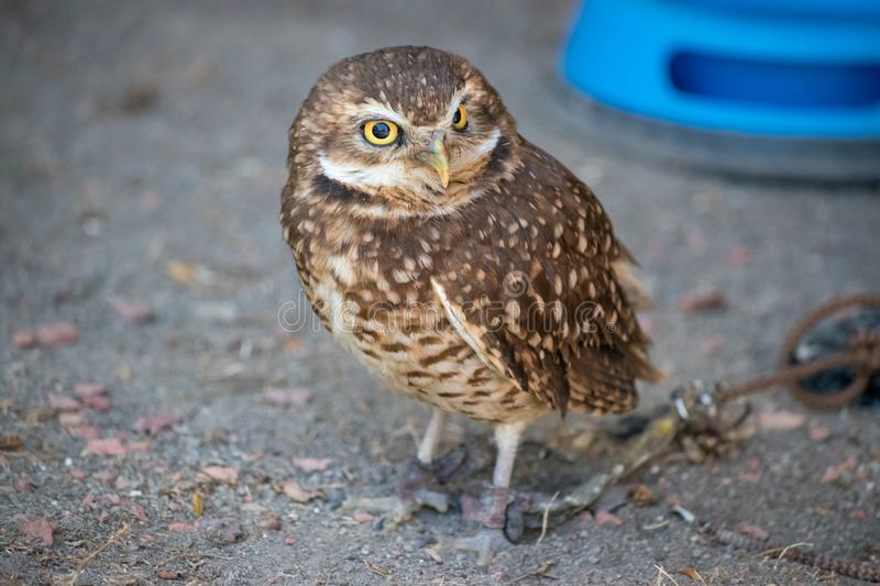 Burrowing Owl (Athene cunicularia) is a small, long legged owl f. Ound throughout North and South America royalty free stock images