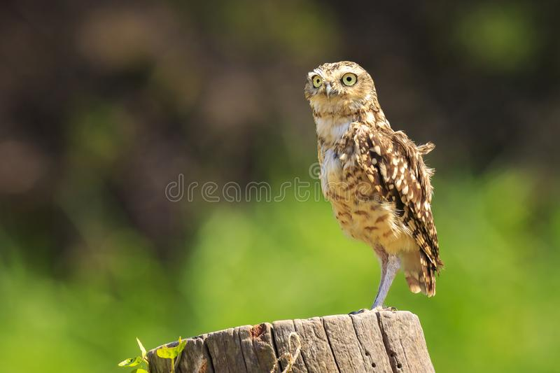 Burrowing owl, Athene cunicularia, standing in grassland. Burrowing owl, Athene cunicularia, bird of prey came outside of its burrow, standing in a green natural royalty free stock image