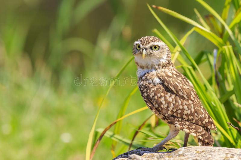 Burrowing owl, Athene cunicularia, standing in grassland. Burrowing owl, Athene cunicularia, bird of prey came outside of its burrow, standing in a green natural royalty free stock images