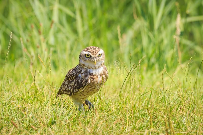 Burrowing owl, Athene cunicularia, standing in grassland. Burrowing owl, Athene cunicularia, bird of prey came outside of its burrow, standing in a green natural stock photos