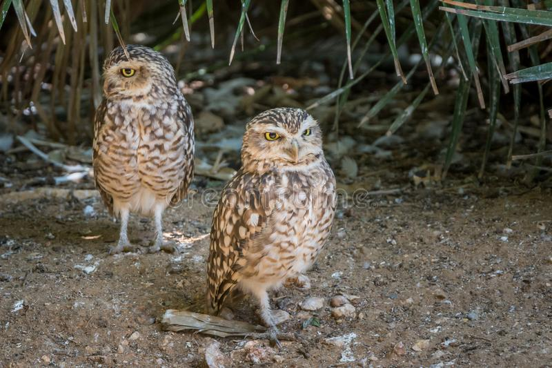 Burrowing Owl & x28;Athene cunicularia royalty free stock photo