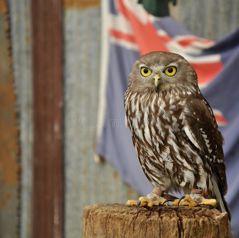 Burrowing Owl with Australian Flag. Burrowing owl resting on a wooden post with a partial Australian Flag backdrop and Metal Building royalty free stock image