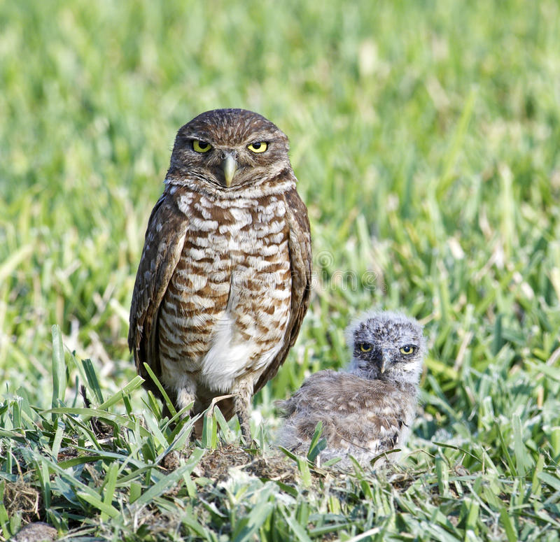 Burrowing Owl and Baby. Together royalty free stock photos