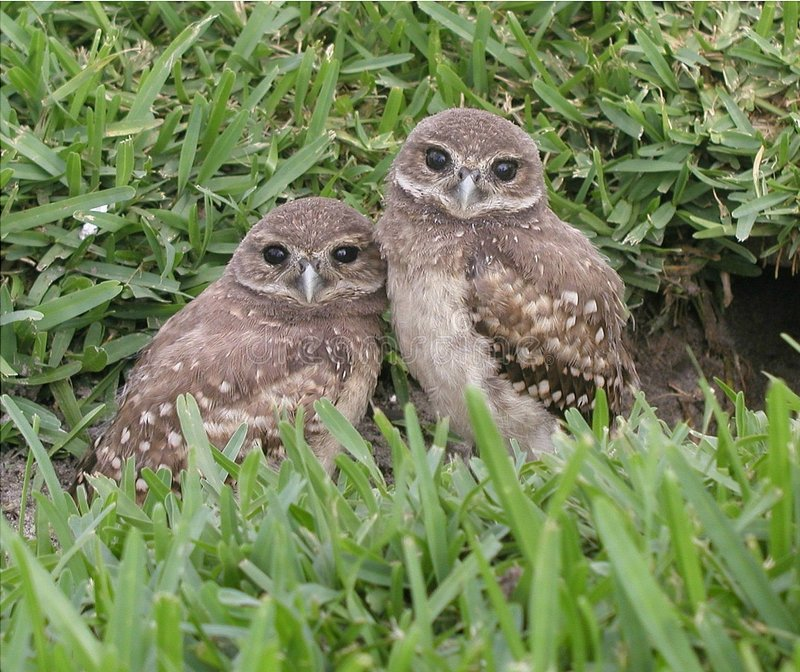 Burrowing owl Babys stock photo