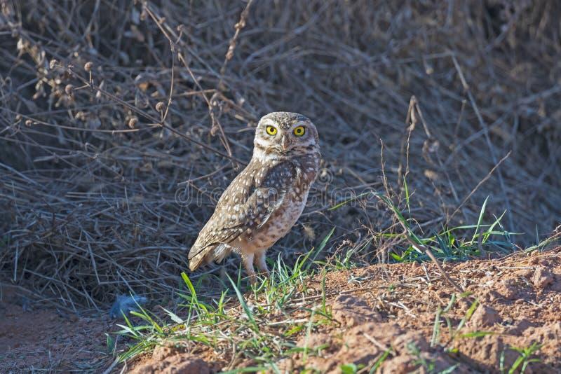 Burrowing Owl bevakar sitt bo royaltyfria foton