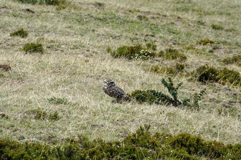 Burrowing owl. Athene cunicularia - at the pre-Colombian ruins of Cochasqui, near Quito, Ecuador stock image