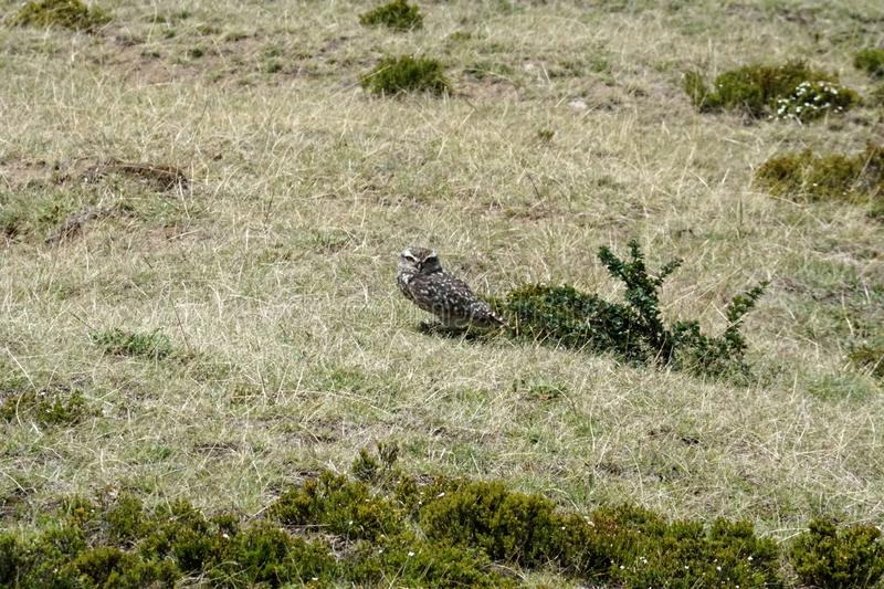 Burrowing owl. Athene cunicularia - at the pre-Colombian ruins of Cochasqui, near Quito, Ecuador stock photography