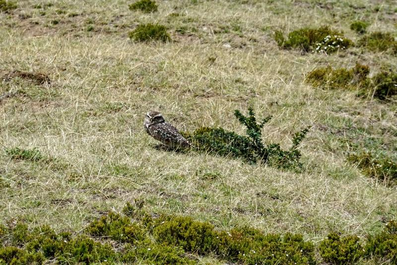 Burrowing owl. Athene cunicularia - at the pre-Colombian ruins of Cochasqui, near Quito, Ecuador stock images