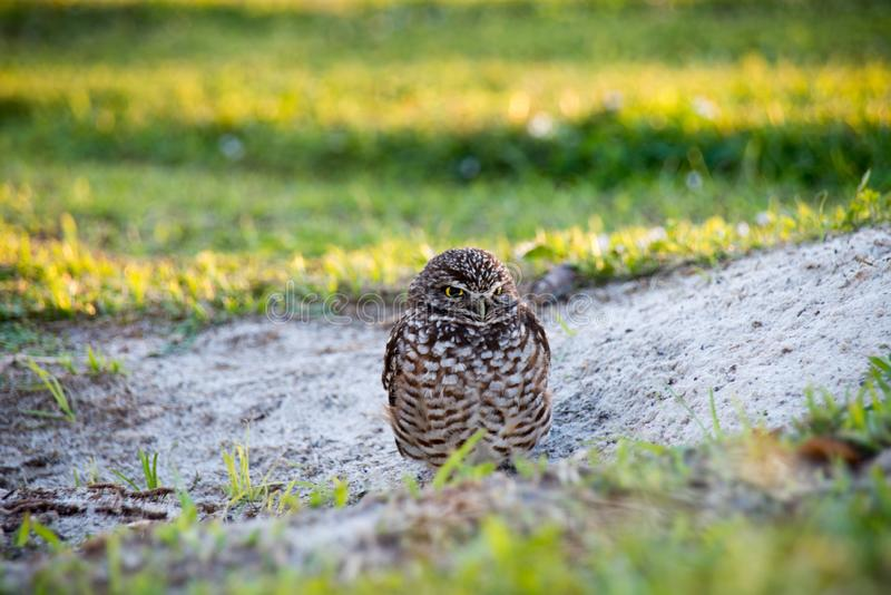 Burrowing owl. In grassy field royalty free stock photo