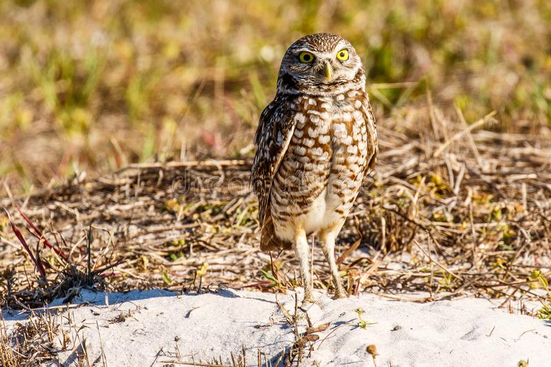 Burrowing Owl in Cape Coral Florida stock photo