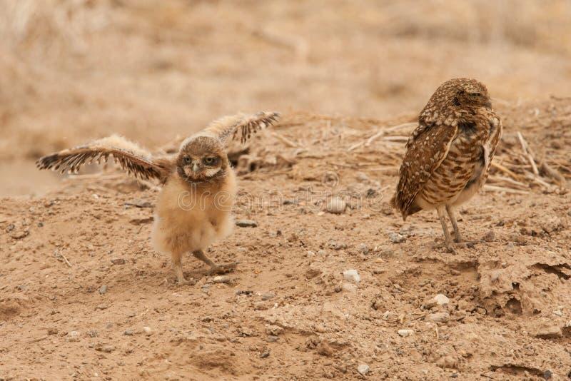 Download Burrowing Owl Chick fotografia stock. Immagine di athene - 30827304