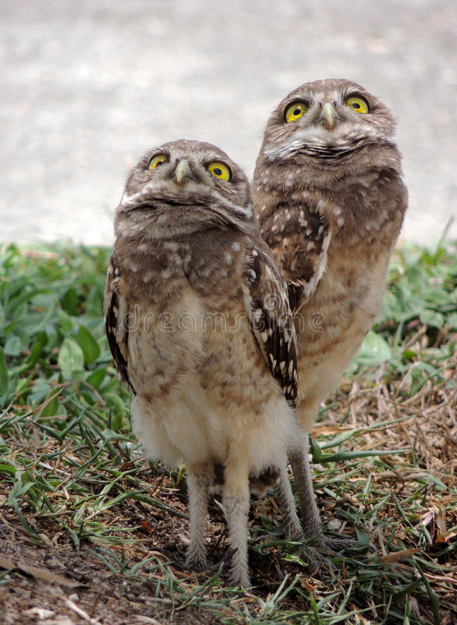 Burrowing Owl Chicks imagem de stock royalty free