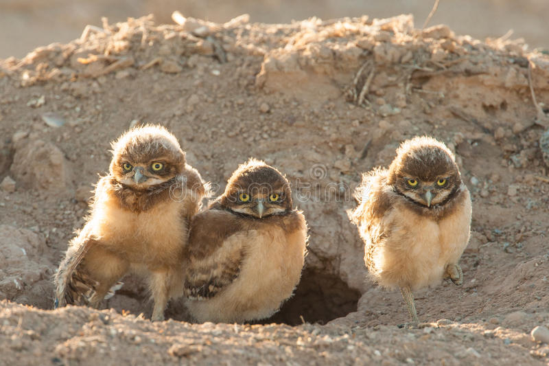 Burrowing Owl Chicks. Three Young Burrowing Owl Chicks Standing in Front of Burrow stock photo