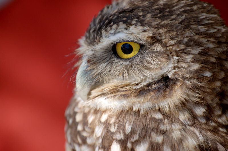 Burrowing Owl Close-Up. Close-up view of a burrowing owl from the Southwest royalty free stock image