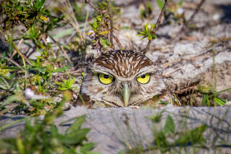 Burrowing Owl. Closeup of Burrowing Owl Athene cunicularia in Cape Coral Florida stock photo