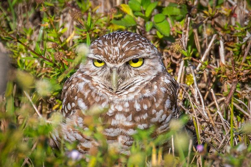 Burrowing Owl. Closeup of Burrowing Owl Athene cunicularia in Cape Coral Florida royalty free stock photos